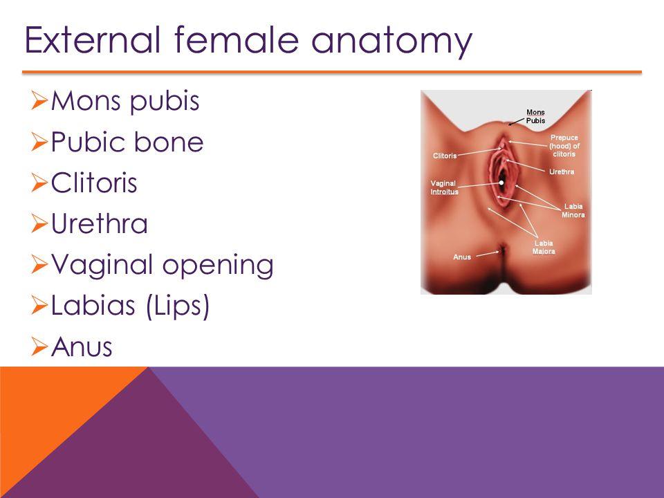 External female anatomy  Mons pubis  Pubic bone  Clitoris  Urethra  Vaginal opening  Labias (Lips)  Anus 