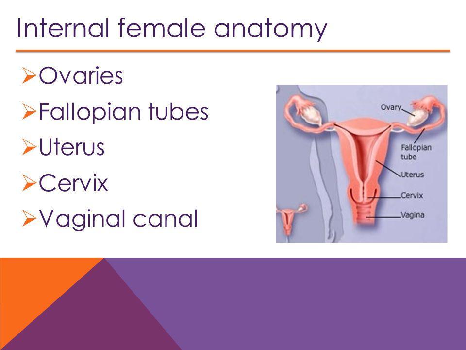 Internal female anatomy  Ovaries  Fallopian tubes  Uterus  Cervix  Vaginal canal