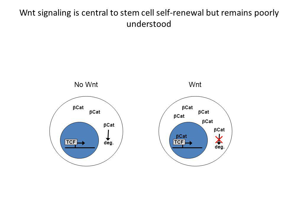 Wnt signaling is central to stem cell self-renewal but remains poorly understood  Cat TCF  Cat TCF No WntWnt  Cat deg.