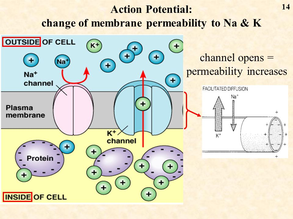 14 Action Potential: change of membrane permeability to Na & K channel opens = permeability increases