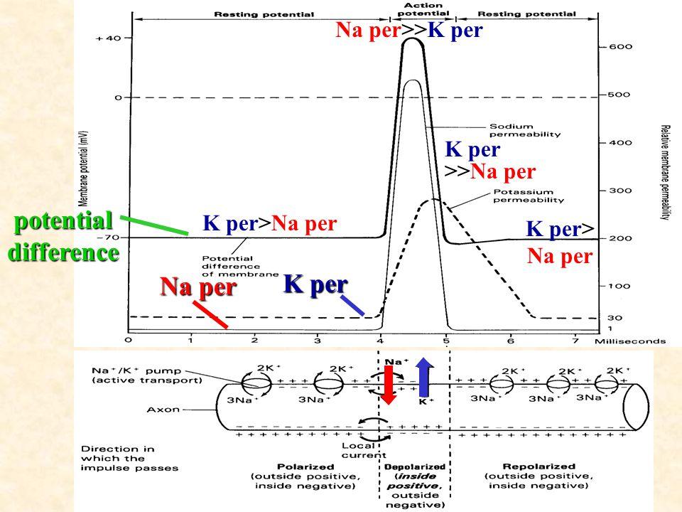 17 Na per K per potential difference K per>Na per Na per>>K per K per >>Na per K per> Na per