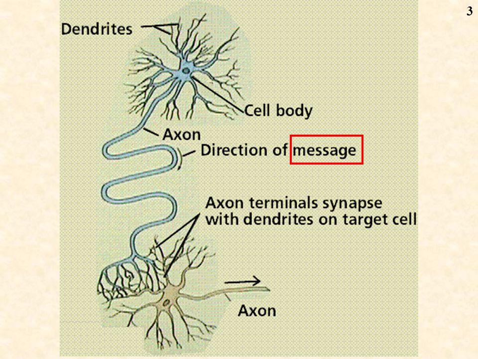 4 axon Cell body dendron