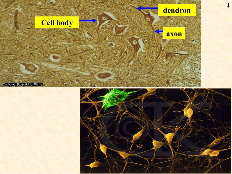 25 Synaptic vesicle Presynaptic membrane Postsynaptic membrane Synaptic cleft Synaptic knob mitochondria