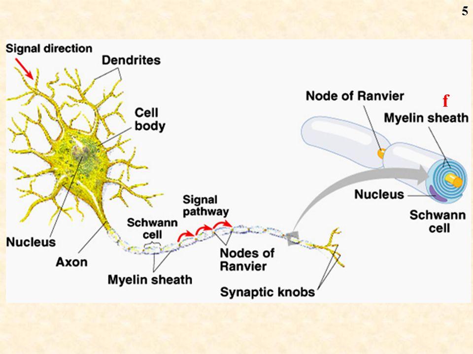 6 Node of Ranvier White fat from Schwann cell