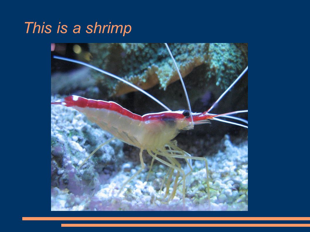 This is a shrimp