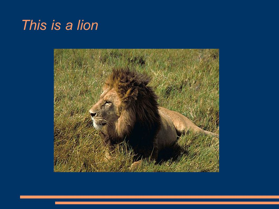 This is a lion