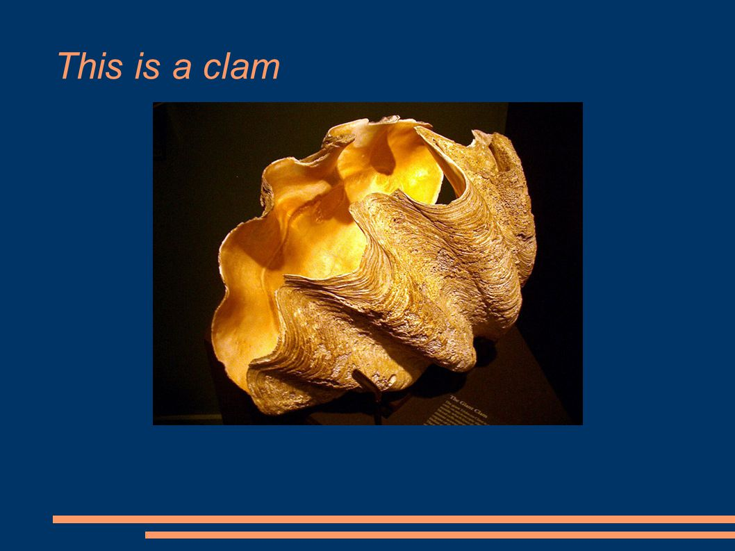 This is a clam