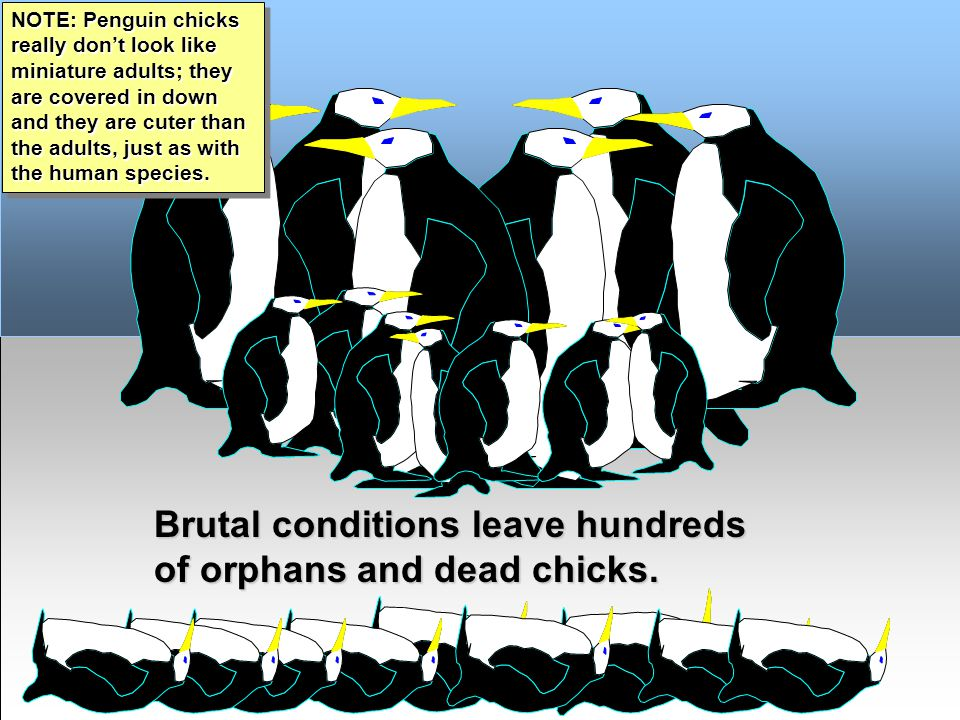 Emperor Penguins - R.J.Ribando Brutal conditions leave hundreds of orphans and dead chicks.