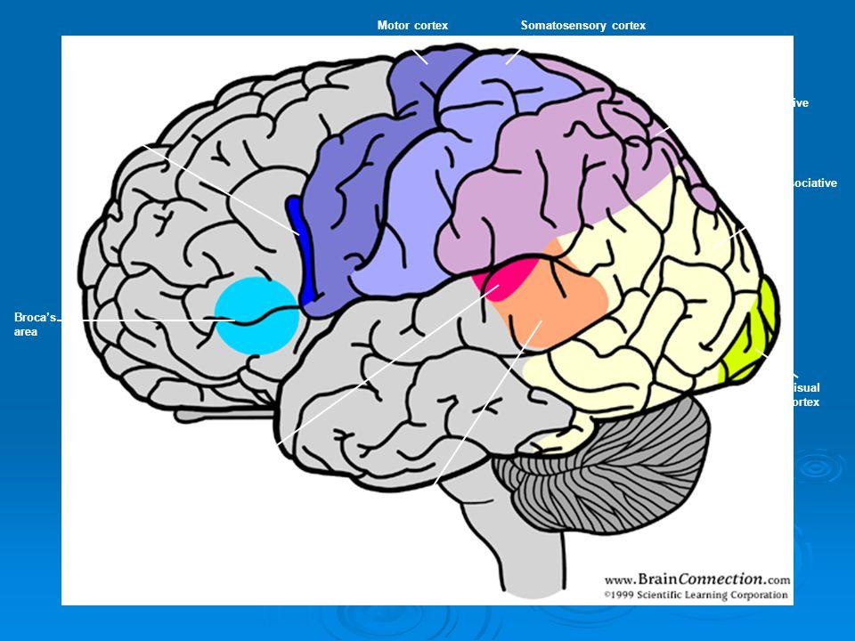 Broca's area Pars opercularis Motor cortexSomatosensory cortex Sensory associative cortex Primary Auditory cortex Wernicke's area Visual associative c