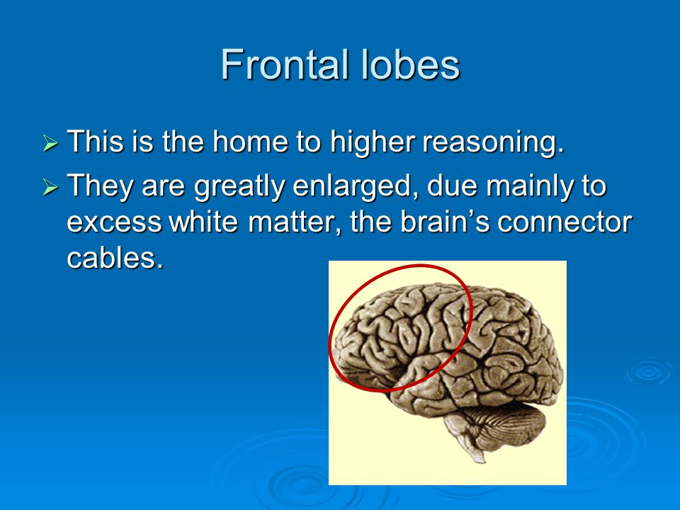 Frontal lobes  This is the home to higher reasoning.  They are greatly enlarged, due mainly to excess white matter, the brain's connector cables.