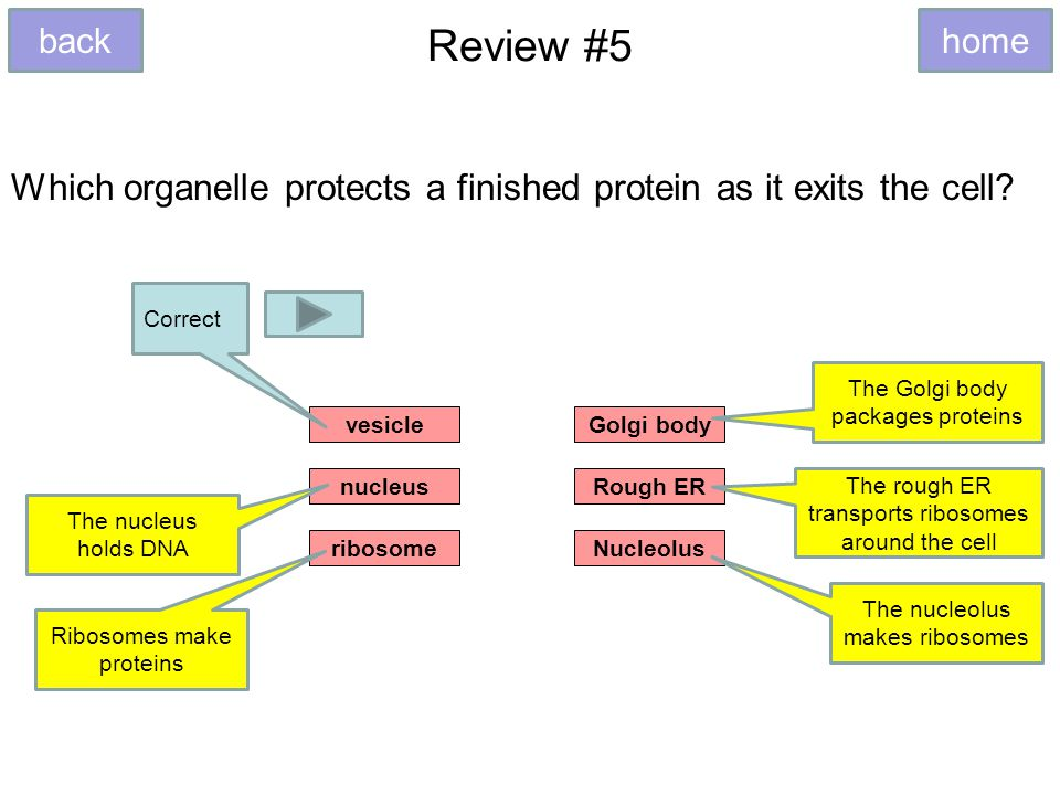 Review #5 Which organelle protects a finished protein as it exits the cell.