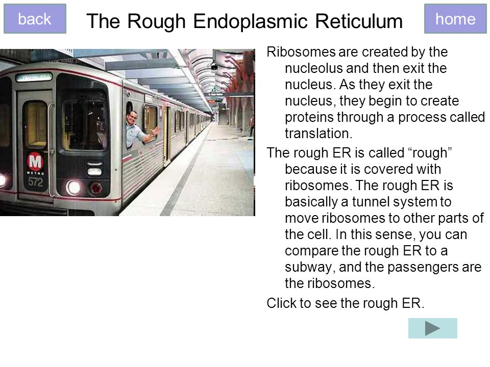 The Rough Endoplasmic Reticulum Ribosomes are created by the nucleolus and then exit the nucleus.