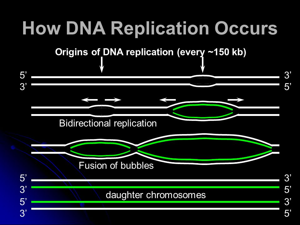 daughter chromosomes 5' 3' 5' 3' 5' 3' Origins of DNA replication (every ~150 kb) 5' 3' 5' Bidirectional replication Fusion of bubbles replication bubble How DNA Replication Occurs