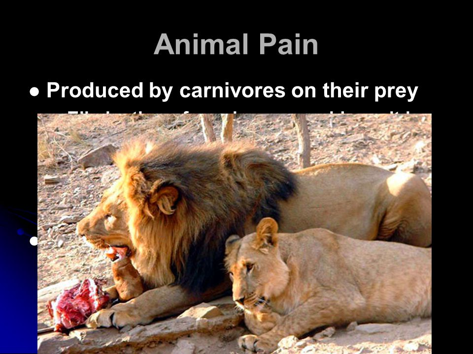 Animal Pain Produced by carnivores on their prey Elimination of carnivores would result in over-population of herbivore populations and starvation Starvation is much more painful than being eaten Produced by disease Removes weak members Strengthens gene pool Produced by carnivores on their prey Elimination of carnivores would result in over-population of herbivore populations and starvation Starvation is much more painful than being eaten Produced by disease Removes weak members Strengthens gene pool