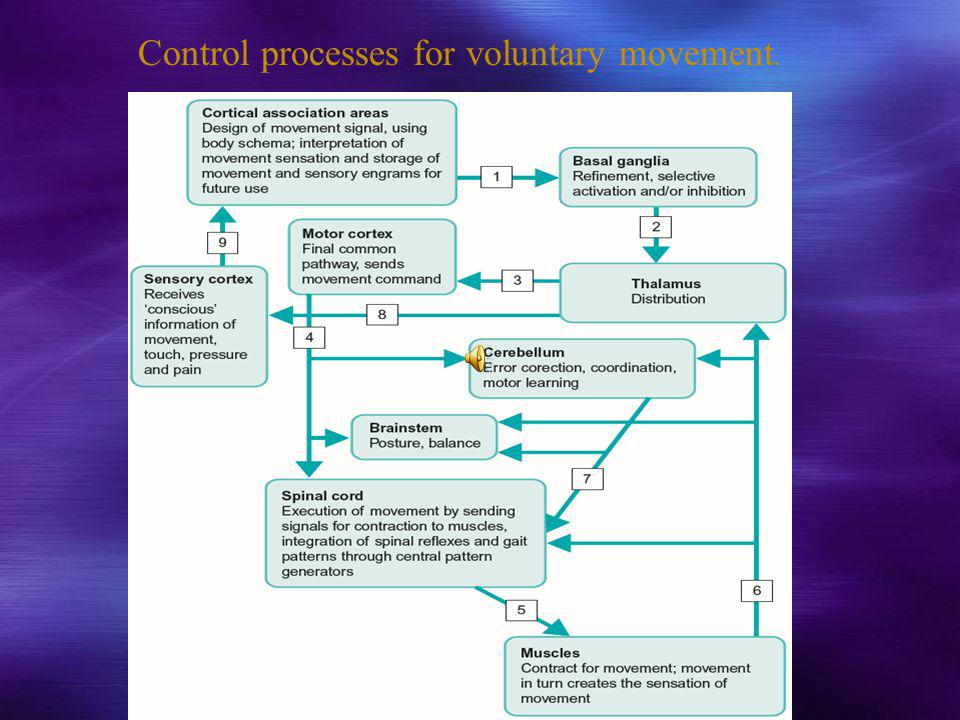Control processes for voluntary movement.
