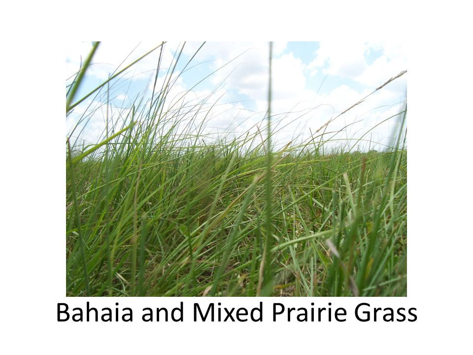 Bahaia and Mixed Prairie Grass