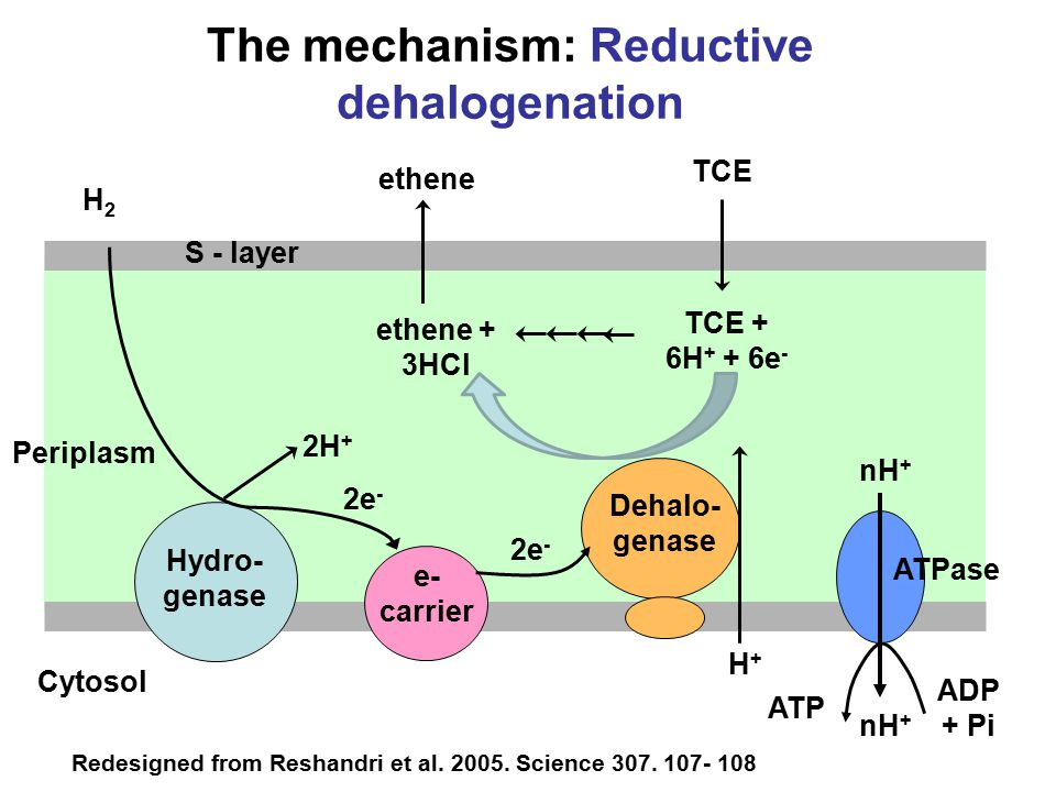 Hydro- genase e- carrier Dehalo- genase ATPase H2H2 2H + 2e - nH + ethene + 3HCl TCE + 6H + + 6e - ADP + Pi ATP Cytosol Redesigned from Reshandri et al.