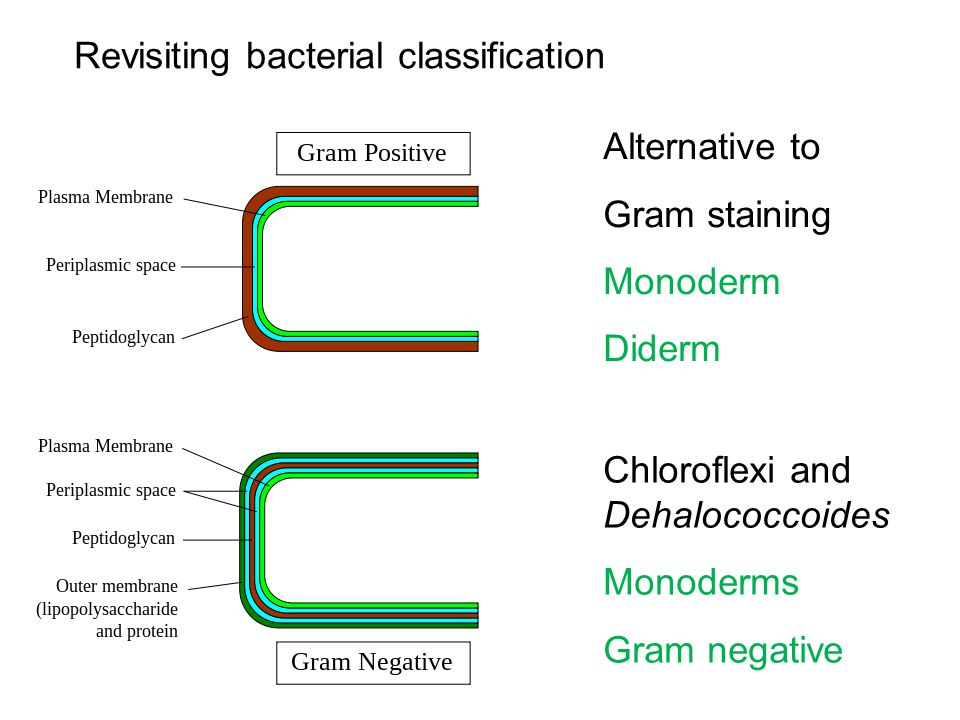 Alternative to Gram staining Monoderm Diderm Revisiting bacterial classification Chloroflexi and Dehalococcoides Monoderms Gram negative
