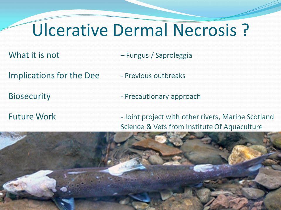 Ulcerative Dermal Necrosis .