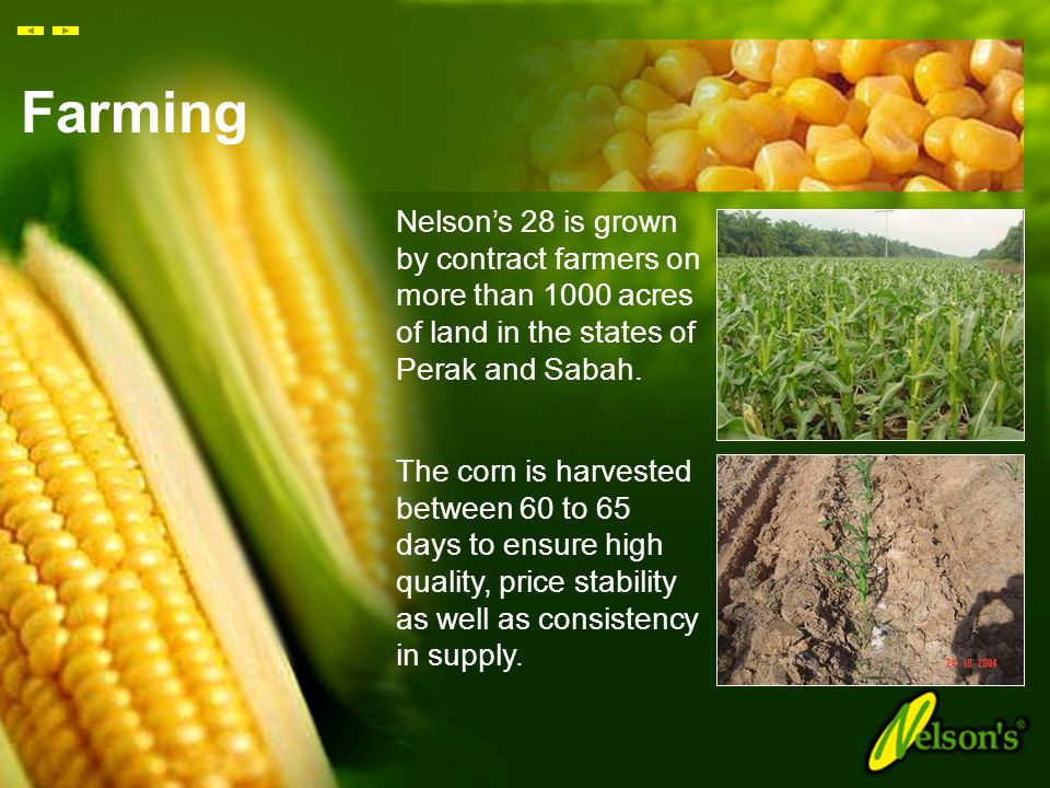 Research & Development The corn kernels of Nelson's 'Corn In Cup' are derived from a new generation of hybrid corn called 'Nelson's 28'. Based on thre
