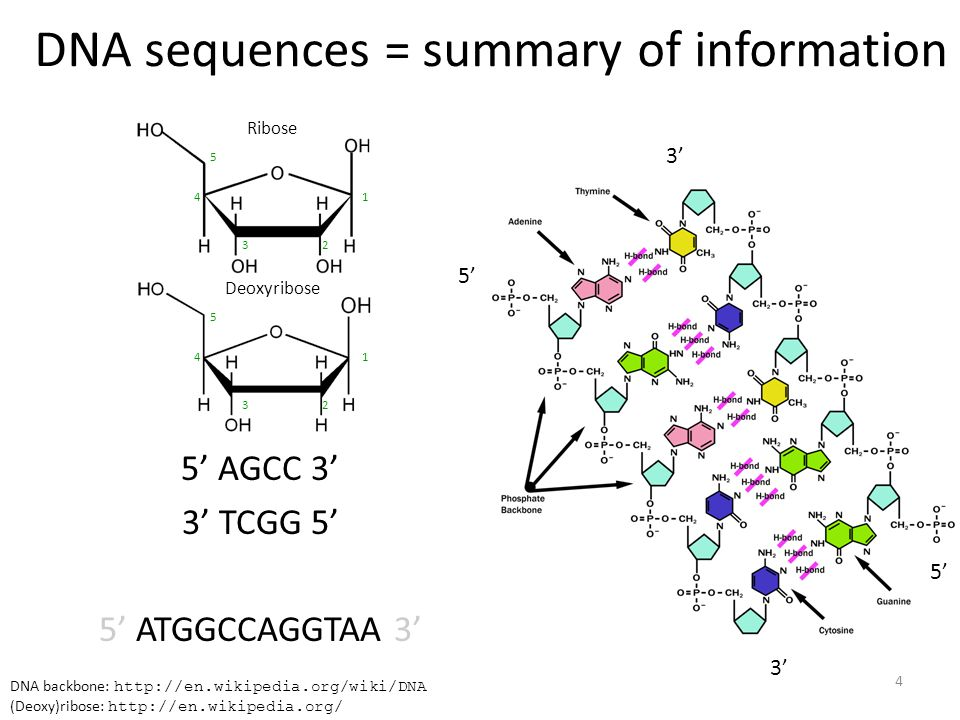 DNA sequences = summary of information 5' AGCC 3' 3' TCGG 5' 5' ATGGCCAGGTAA 3' DNA backbone: http://en.wikipedia.org/wiki/DNA (Deoxy)ribose: http://en.wikipedia.org/ Ribose 1 23 4 5 Deoxyribose 1 23 4 5 5' 3' 5' 3' 4