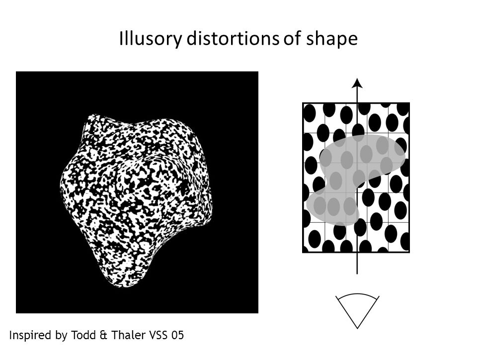 Illusory distortions of shape