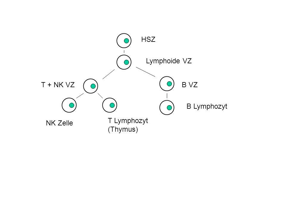 NK Zelle LGL (grosser granulärer Lymphozyt) 3 Aktivitäten: K (Killer) - ADCC (Ab-dependent cellular cytotoxicity) NK LAK - Lymphokin-aktivierter Killer Spontanes Killing von Tumor- und virusinfizierten Zellen Hybridresistenz Fc  III Rezeptor / CD16: K Aktivität NK Rezeptoren: NK (und LAK Aktivität) Marker: CD56+ (90%) CD3- TZR- NKp46