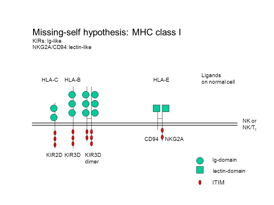 Hybridresistenz A Maus B Maus AB Bone Marrow Transplantation xx Killing von No-Self