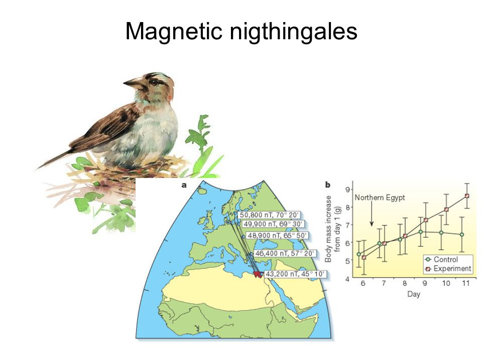 Magnetic nigthingales