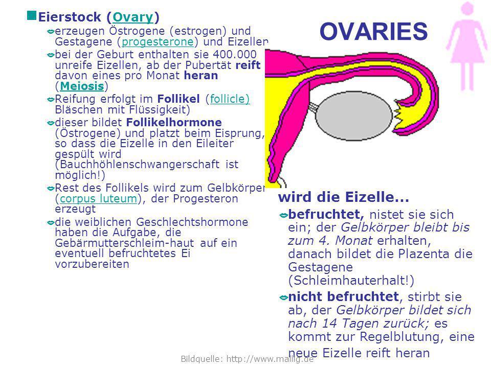 OVARIES  Eierstock (Ovary)Ovary  erzeugen Östrogene (estrogen) und Gestagene (progesterone) und Eizellenprogesterone  bei der Geburt enthalten sie 400.000 unreife Eizellen, ab der Pubertät reift davon eines pro Monat heran (Meiosis)Meiosis  Reifung erfolgt im Follikel (follicle) Bläschen mit Flüssigkeit)follicle)  dieser bildet Follikelhormone (Östrogene) und platzt beim Eisprung, so dass die Eizelle in den Eileiter gespült wird (Bauchhöhlenschwangerschaft ist möglich!)  Rest des Follikels wird zum Gelbkörper (corpus luteum), der Progesteron erzeugtcorpus luteum  die weiblichen Geschlechtshormone haben die Aufgabe, die Gebärmutterschleim-haut auf ein eventuell befruchtetes Ei vorzubereiten wird die Eizelle...