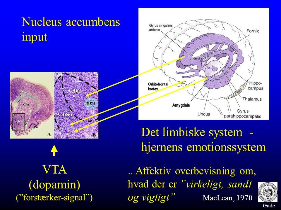 """Gade VTA(dopamin)(""""forstærker-signal"""") Nucleus accumbens input Det limbiske system - hjernens emotionssystem.. Affektiv overbevisning om, hvad der er"""