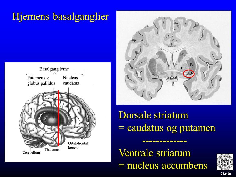 Gade Hjernens basalganglier Dorsale striatum = caudatus og putamen ------------- Ventrale striatum = nucleus accumbens