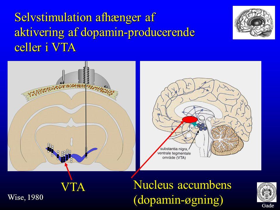 Gade Selvstimulation afhænger af aktivering af dopamin-producerende celler i VTA Wise, 1980 VTA Nucleus accumbens (dopamin-øgning)