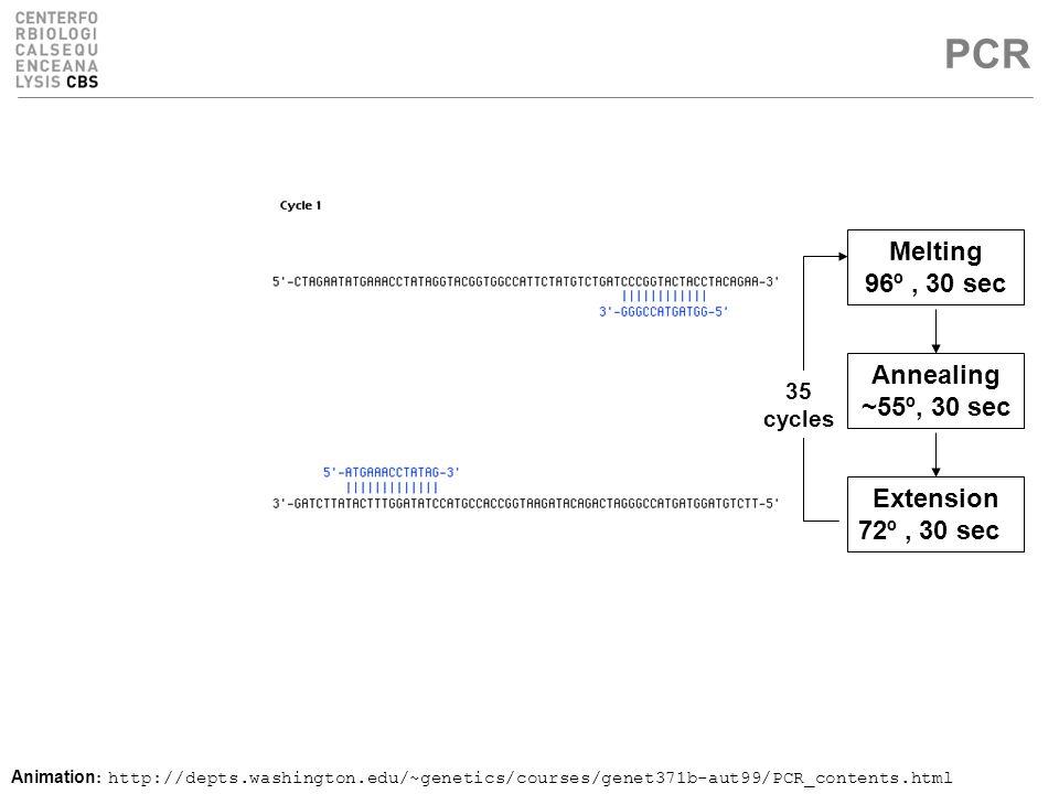 PCR Melting 96º, 30 sec Annealing ~55º, 30 sec Extension 72º, 30 sec 35 cycles Animation : http://depts.washington.edu/~genetics/courses/genet371b-aut99/PCR_contents.html