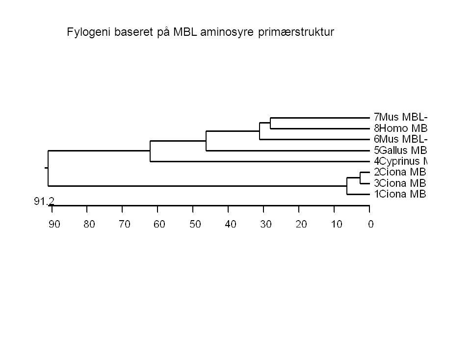 Fylogeni baseret på MBL aminosyre primærstruktur
