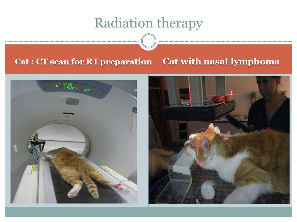 Cat : CT scan for RT preparation Cat with nasal lymphoma Radiation therapy