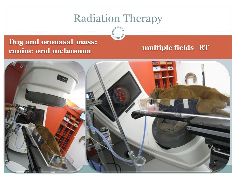 Dog and oronasal mass: canine oral melanoma Radiation Therapy multiple fields RT