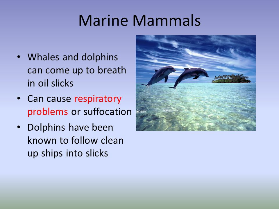 Marine Mammals Whales and dolphins can come up to breath in oil slicks Can cause respiratory problems or suffocation Dolphins have been known to follo