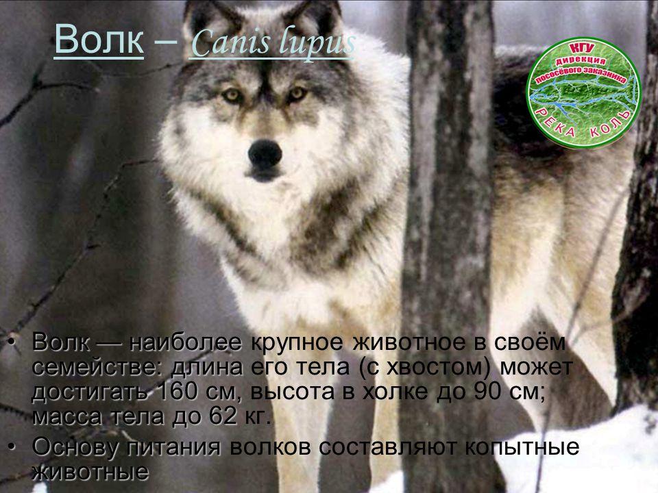 Волк – Canis lupus Волк — наиболее семействе: длина достигать 160 см, масса тела до 62Волк — наиболее крупное животное в своём семействе: длина его тела (с хвостом) может достигать 160 см, высота в холке до 90 см; масса тела до 62 кг.