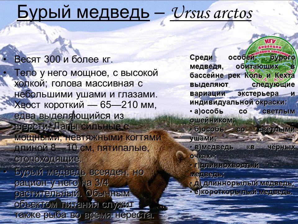 Бурый медведь – Ursus arctos Весят 300 и более кг. едва выделяющийся из шерсти. Лапы стопоходящие.Тело у него мощное, с высокой холкой; голова массивн