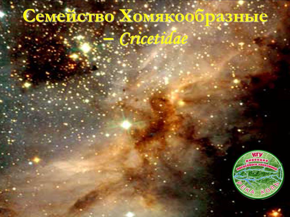 Семейство Хомякообразные – Cricetidae