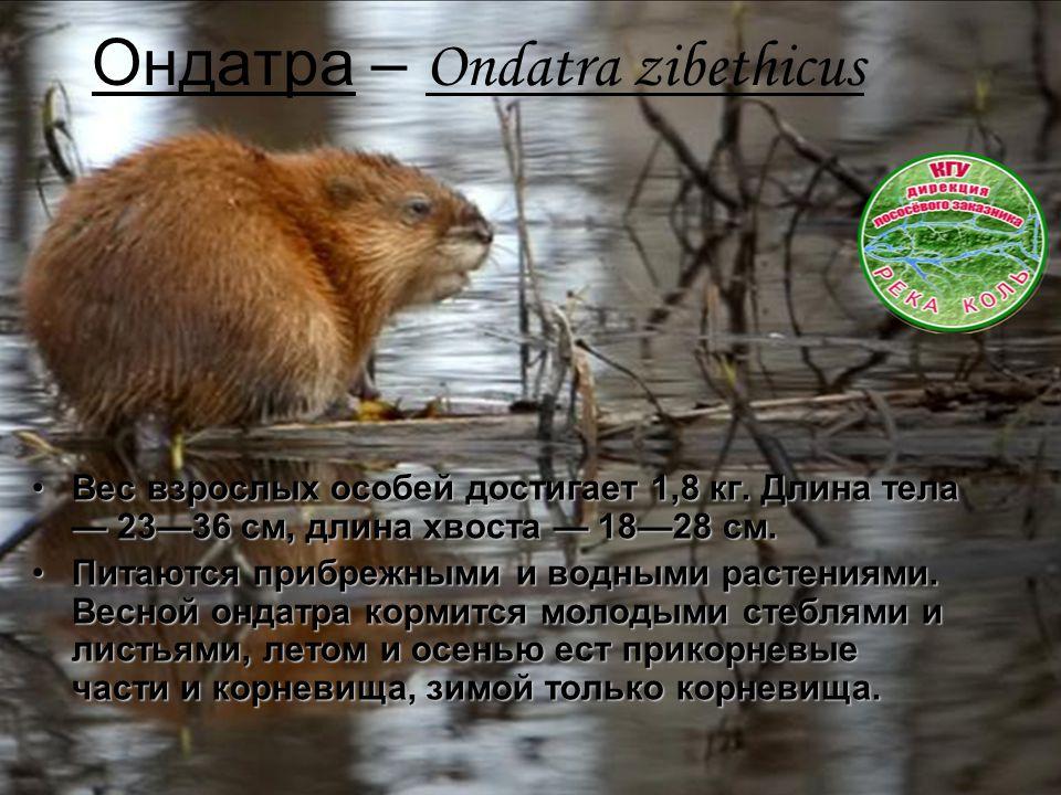 Ондатра – Ondatra zibethicus Вес взрослых особей достигает 1,8 кг. Длина тела — 23—36 см, длина хвоста — 18—28 см.Вес взрослых особей достигает 1,8 кг