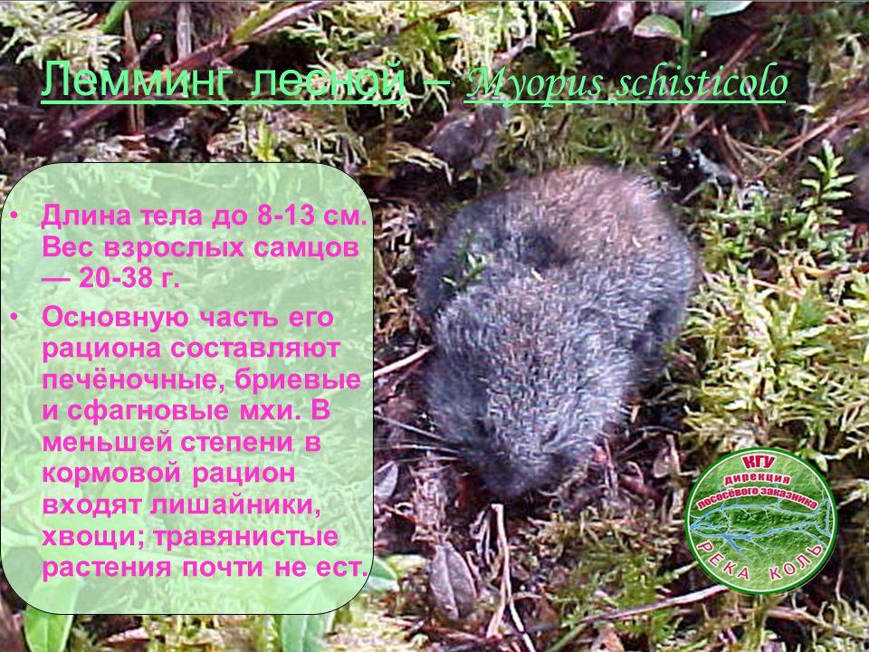 Лемминг лесной – Myopus schisticolo Длина тела до 8-13 см. Вес взрослых самцов — 20-38 г. Основную часть его рациона составляют печёночные, бриевые и