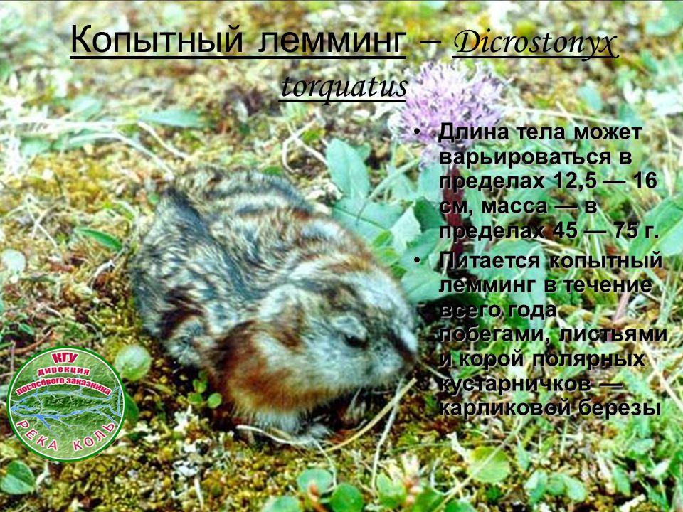 Копытный лемминг – Dicrostonyx torquatus Длина тела может варьироваться в пределах 12,5 — 16 см, масса — в пределах 45 — 75 г.Длина тела может варьироваться в пределах 12,5 — 16 см, масса — в пределах 45 — 75 г.