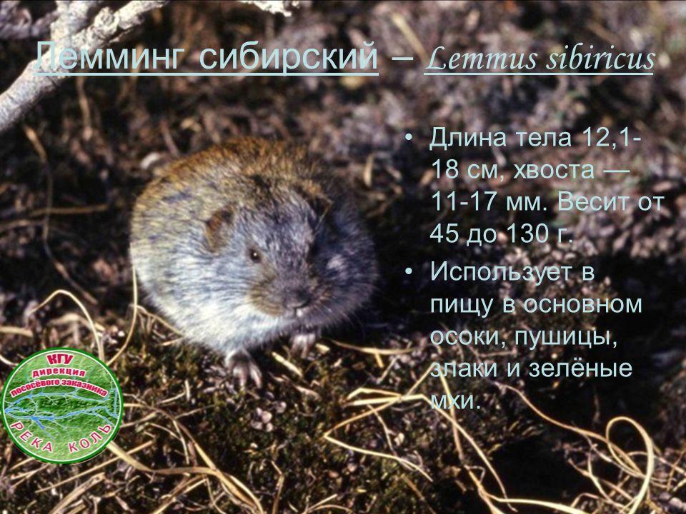 Длина тела 12,1- 18 см, хвоста — 11-17 мм. Весит от 45 до 130 г. Использует в пищу в основном осоки, пушицы, злаки и зелёные мхи. Лемминг сибирский –