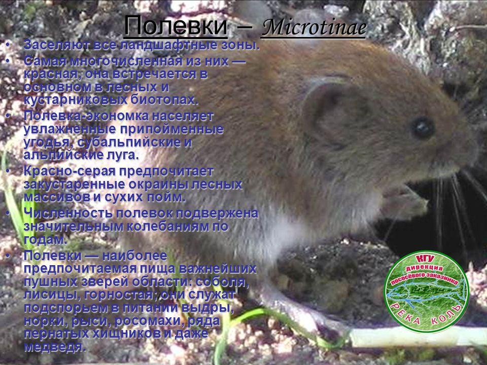 Полевки – Microtinae Заселяют все ландшафтные зоны.Заселяют все ландшафтные зоны. Самая многочисленная из них — красная, она встречается в основном в