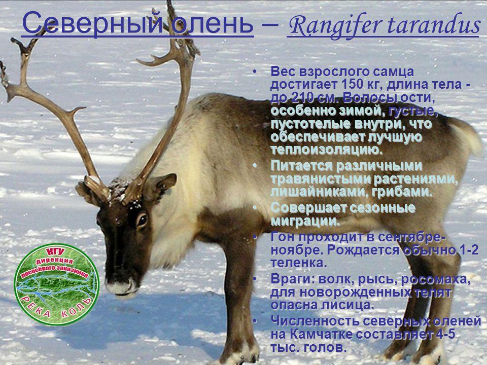 Северный олень – Rangifer tarandus Вес взрослого самца достигает 150 кг, длина тела - до 210 см. Волосы ости, особенно зимой, густые, пустотелые внутр
