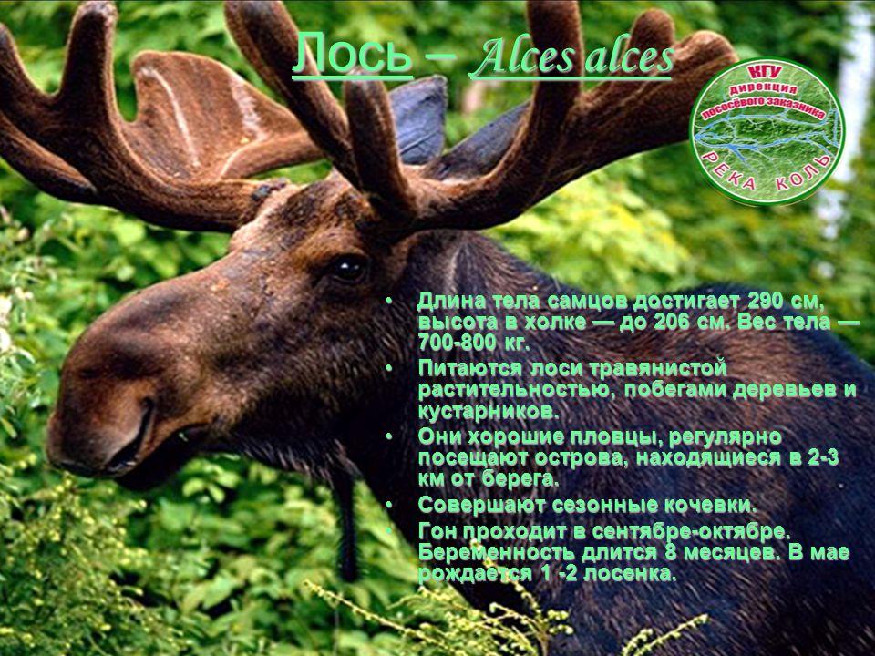Лось – Alces alces Длина тела самцов достигает 290 см, высота в холке — до 206 см. Вес тела — 700-800 кг.Длина тела самцов достигает 290 см, высота в
