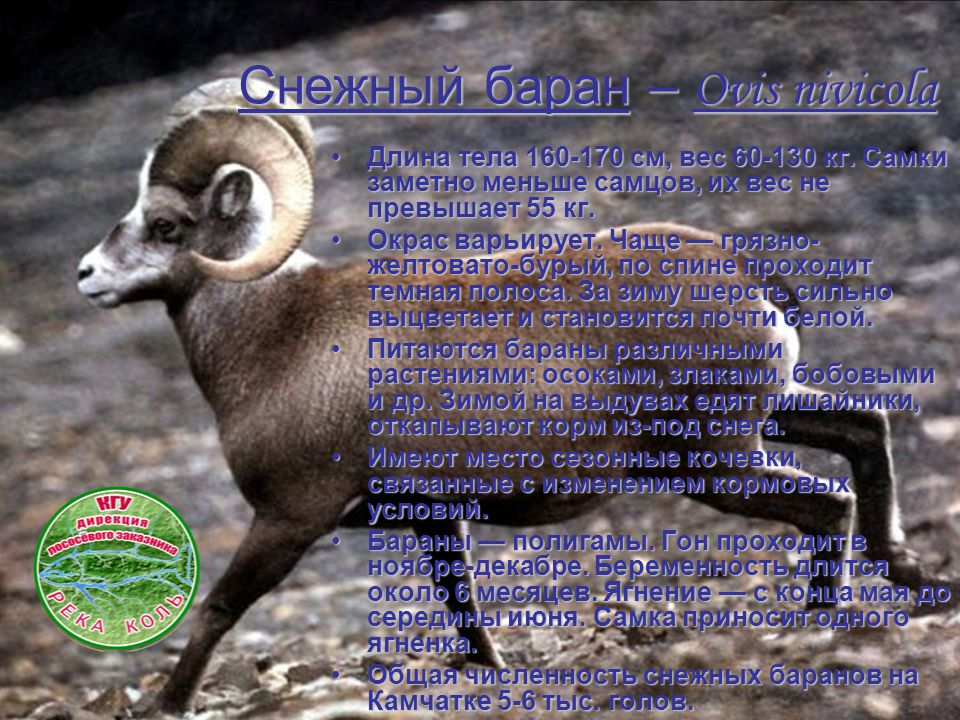 Снежный баран– Ovis nivicola Снежный баран – Ovis nivicola Длина тела 160-170 см, вес 60-130 кг. Самки заметно меньше самцов, их вес не превышает 55 к