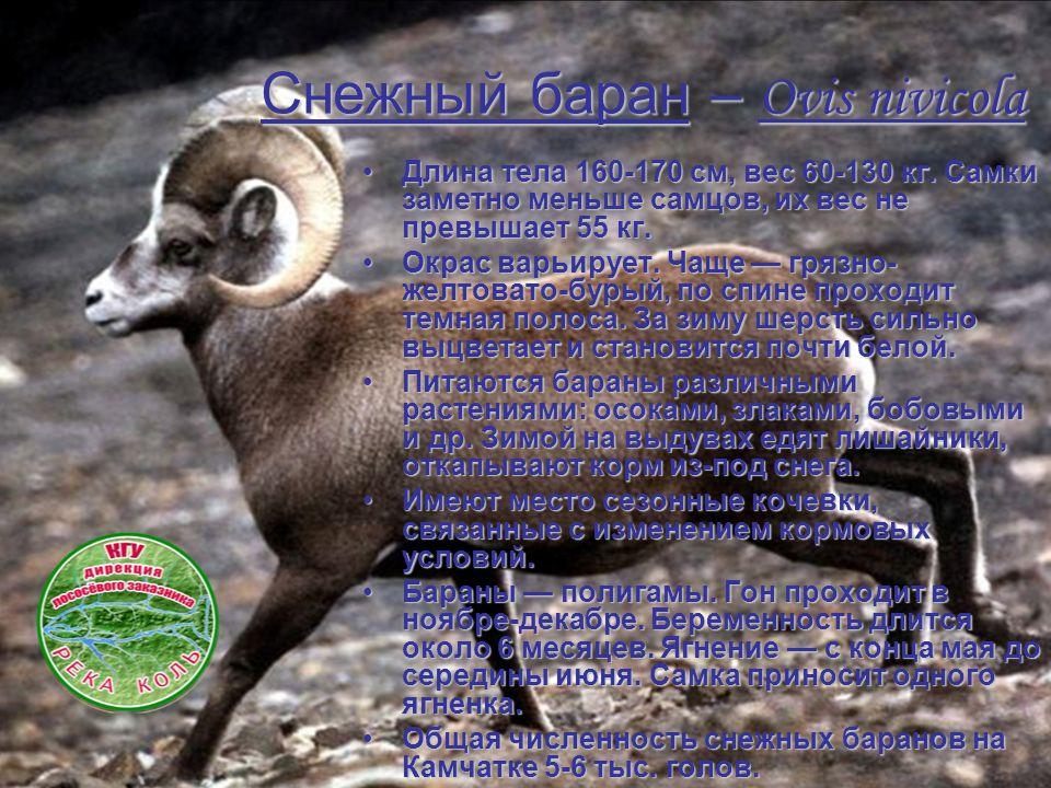 Снежный баран– Ovis nivicola Снежный баран – Ovis nivicola Длина тела 160-170 см, вес 60-130 кг.